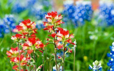 In Bloom: Wildflower Season in Texas