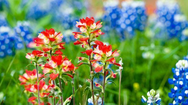 Red and blue flowers in a field.