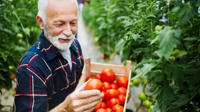 A man picking tomatoes.