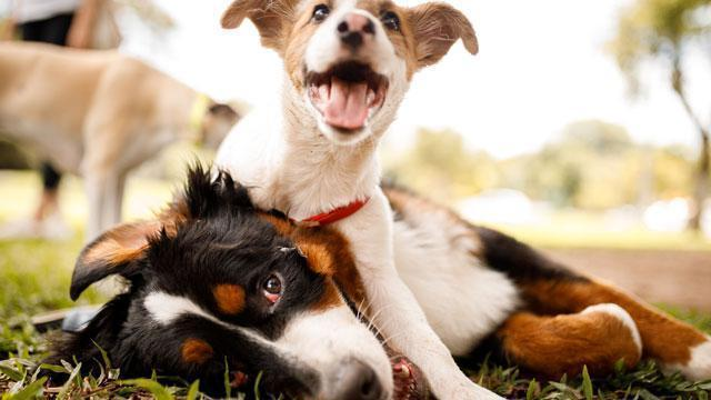 Two dogs playing in a grassy field